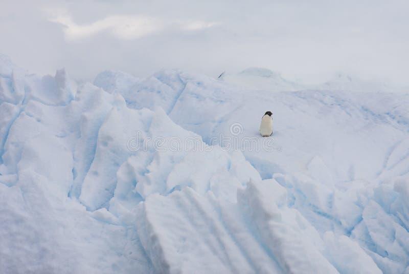 Pinguim de Adelie em um iceberg fotos de stock