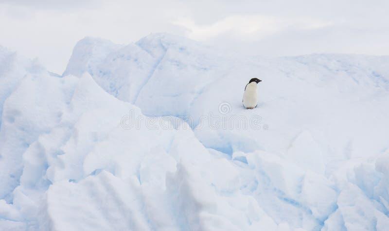 Pinguim de Adelie em um iceberg imagem de stock