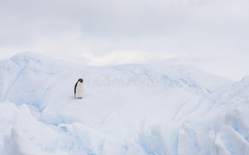 Pinguim de Adelie em um iceberg imagens de stock royalty free