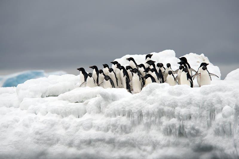 Pinguim de Adelie no gelo, mar de Weddell, Anarctica imagem de stock royalty free