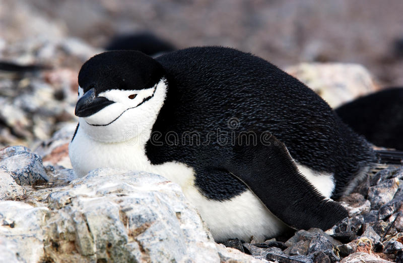 Pinguim de Chinstrap fotos de stock royalty free