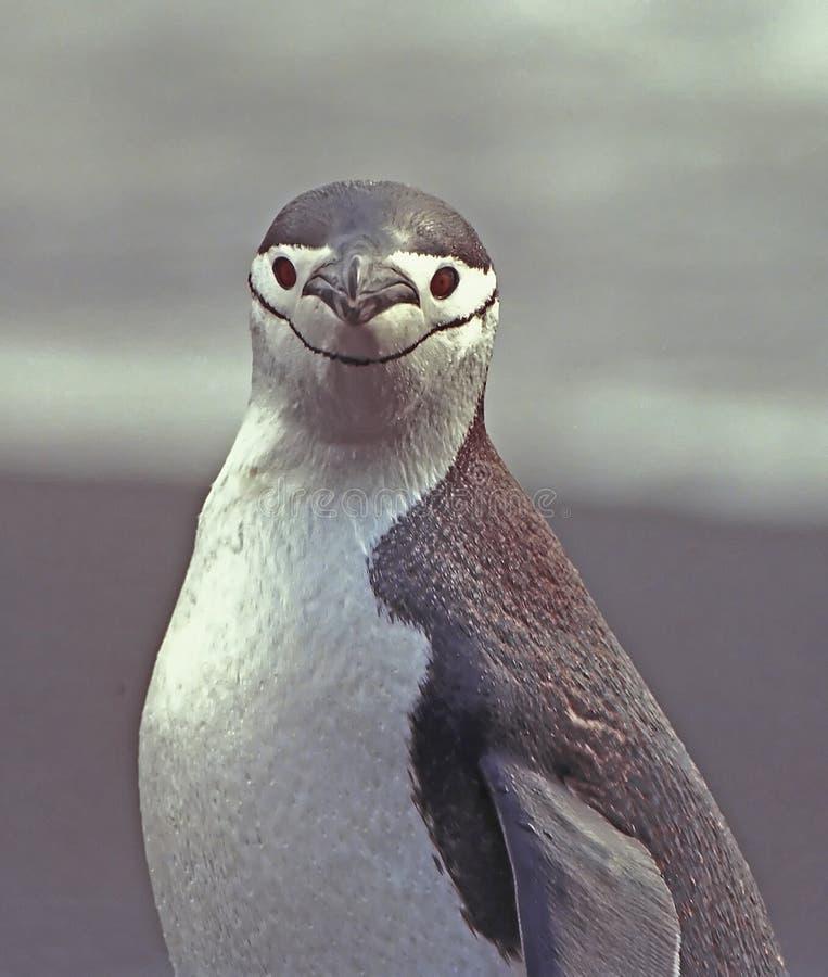 Pinguim de Chinstrap imagem de stock