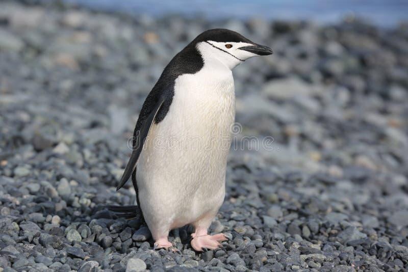 Pinguim de Chinstrap na Antártica fotos de stock