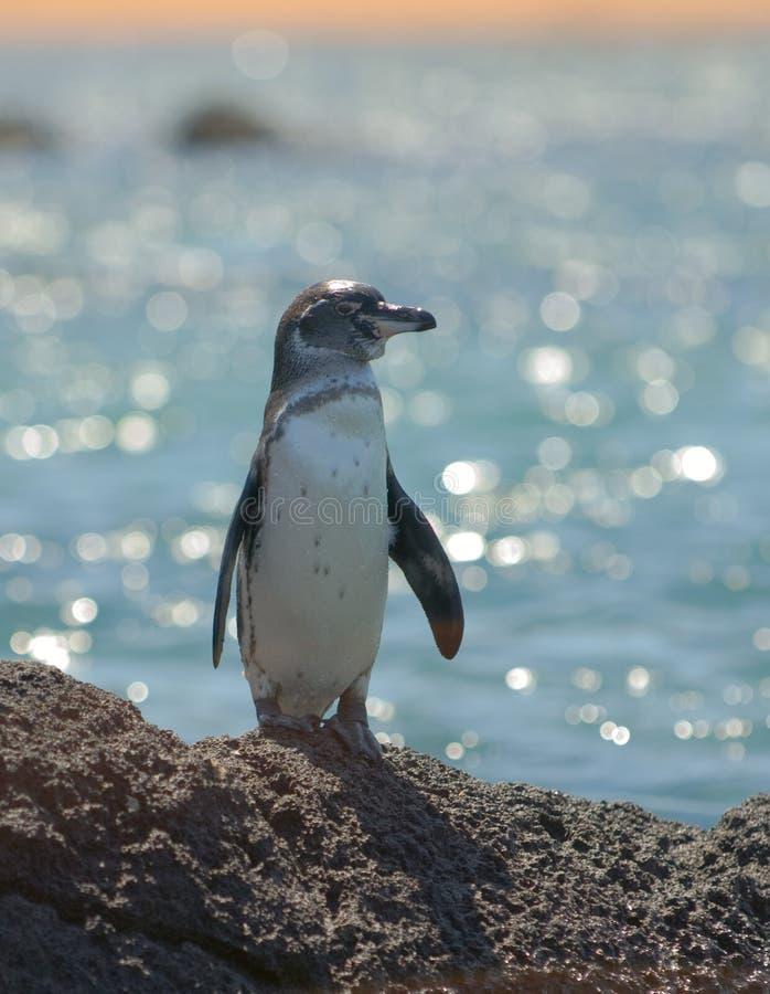 Pinguim de Galápagos, consoles de Galápagos imagens de stock