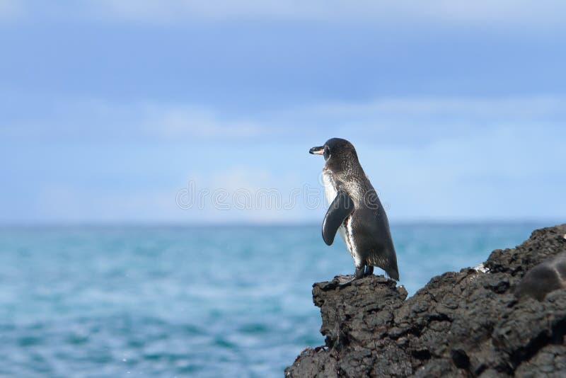 Pinguim de Galápagos que olha o oceano imagem de stock royalty free