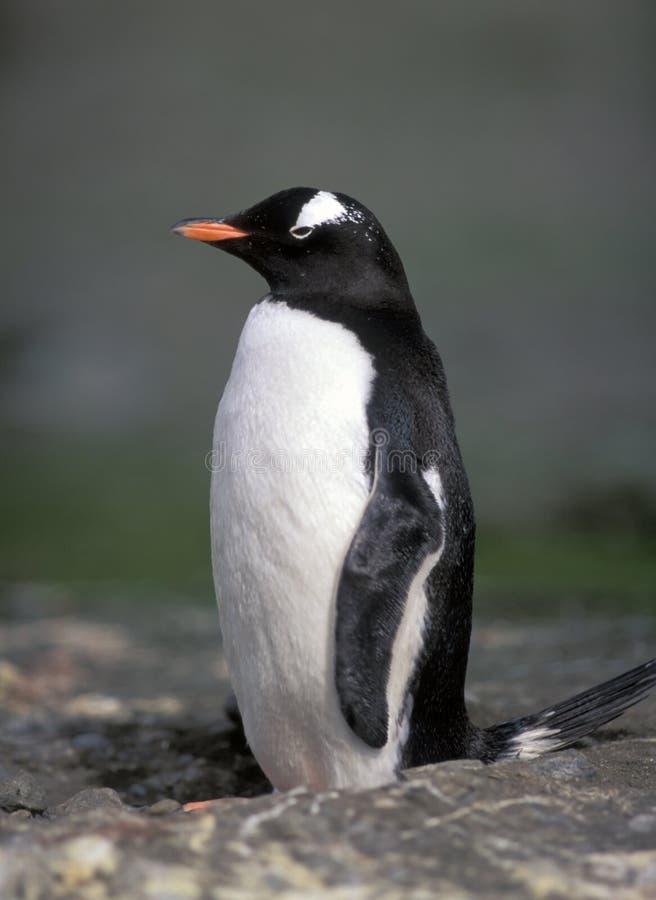 Pinguim de Gentoo fotos de stock royalty free