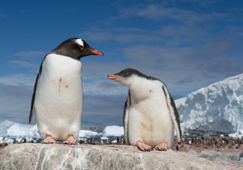 Pinguim de Gentoo com jovens imagem de stock royalty free
