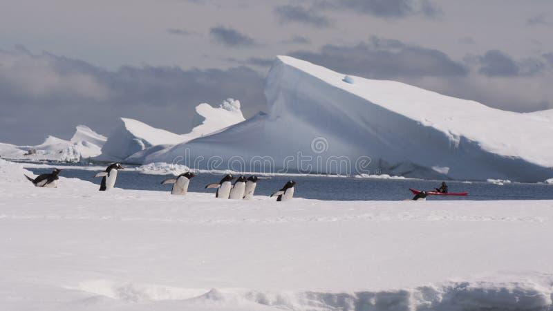 Pinguim de Gentoo em Continente antárctico fotos de stock royalty free