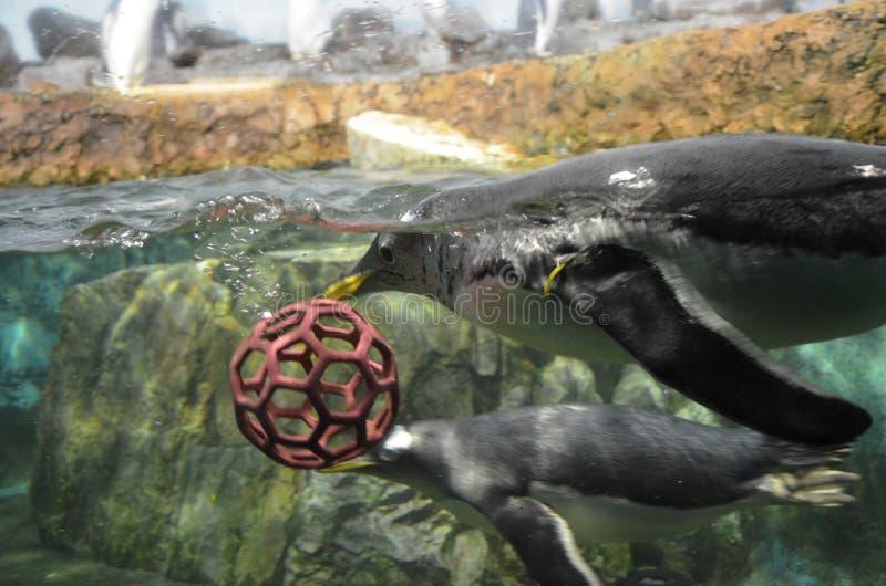 Pinguim de Gentoo no jardim zoológico imagem de stock