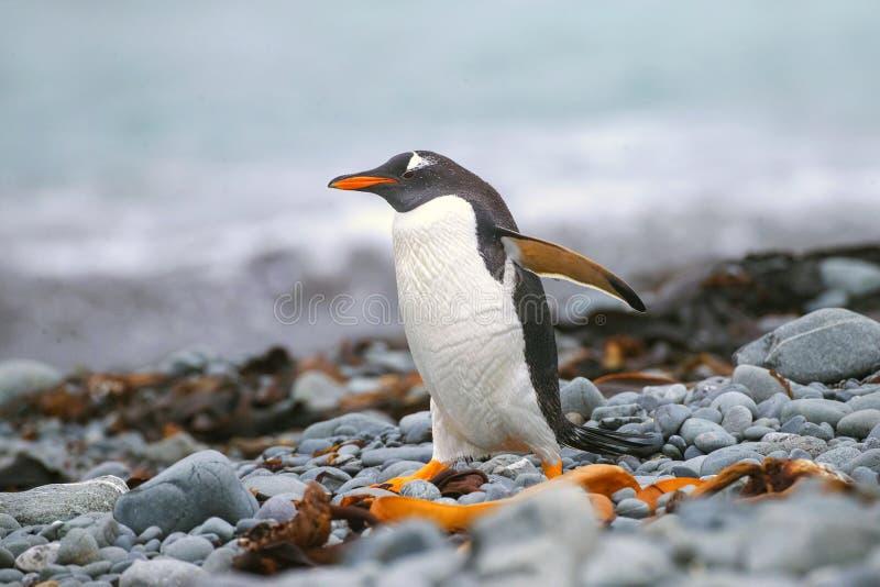 Pinguim de Gentoo, Pygoscelis papua fotos de stock