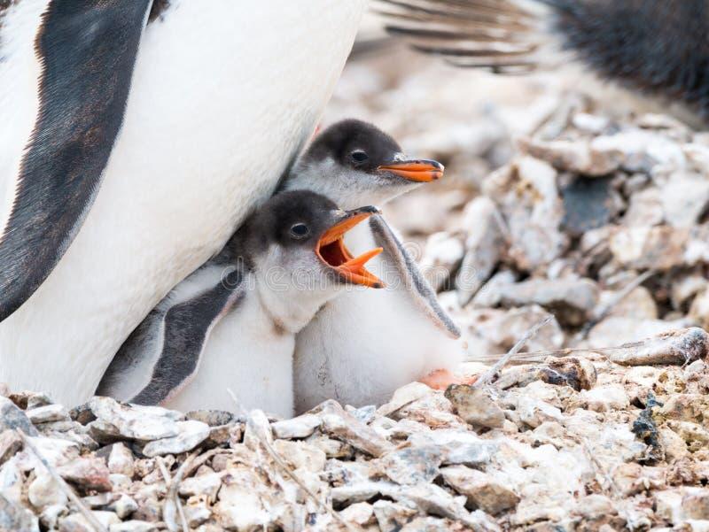 Pinguim de Gentoo, Pygoscelis papua, pintainho que implora pelo alimento pelo scre fotos de stock royalty free