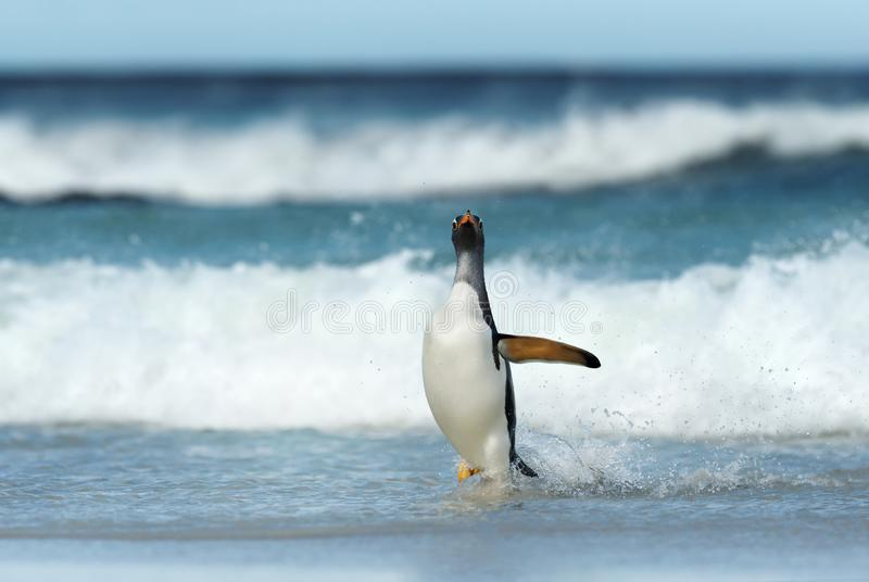 Pinguim de Gentoo que vem em terra de Oceano Atlântico tormentoso imagens de stock