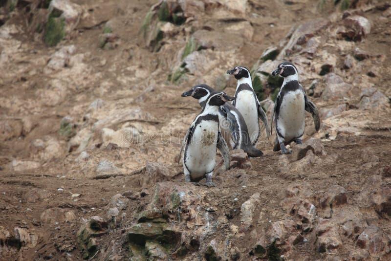 Pinguim de Humbolt foto de stock royalty free