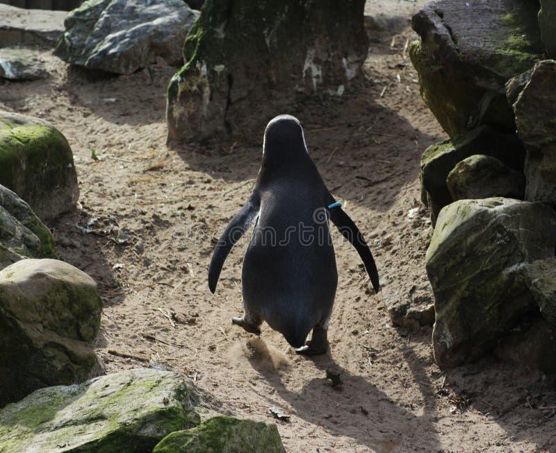 Pinguim de Humbolt imagens de stock royalty free