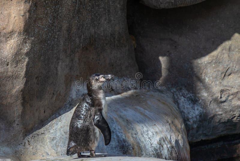 Pinguim de Humbolt em uma rocha imagem de stock royalty free