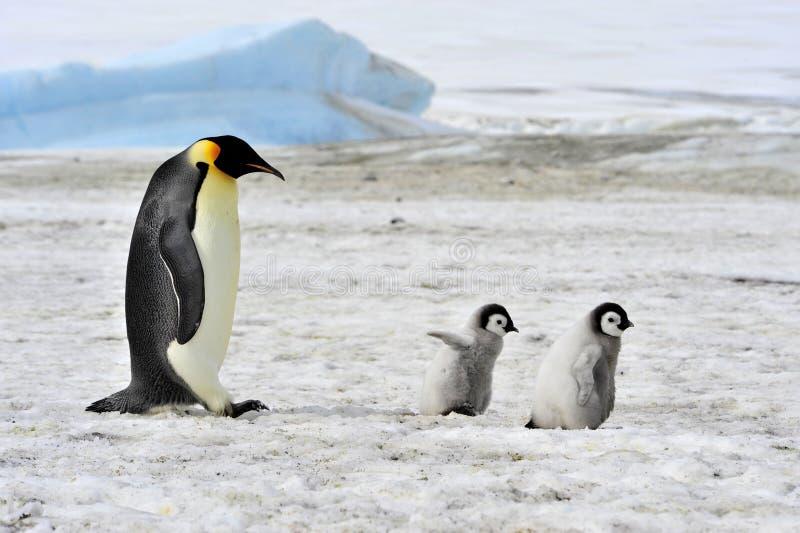 Pinguim de imperador foto de stock
