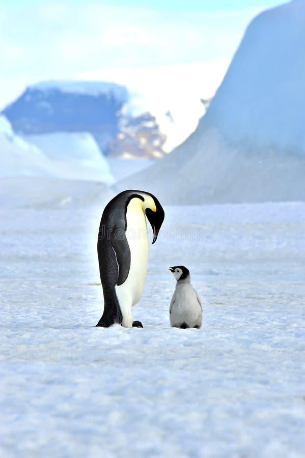 Pinguim de imperador imagens de stock royalty free