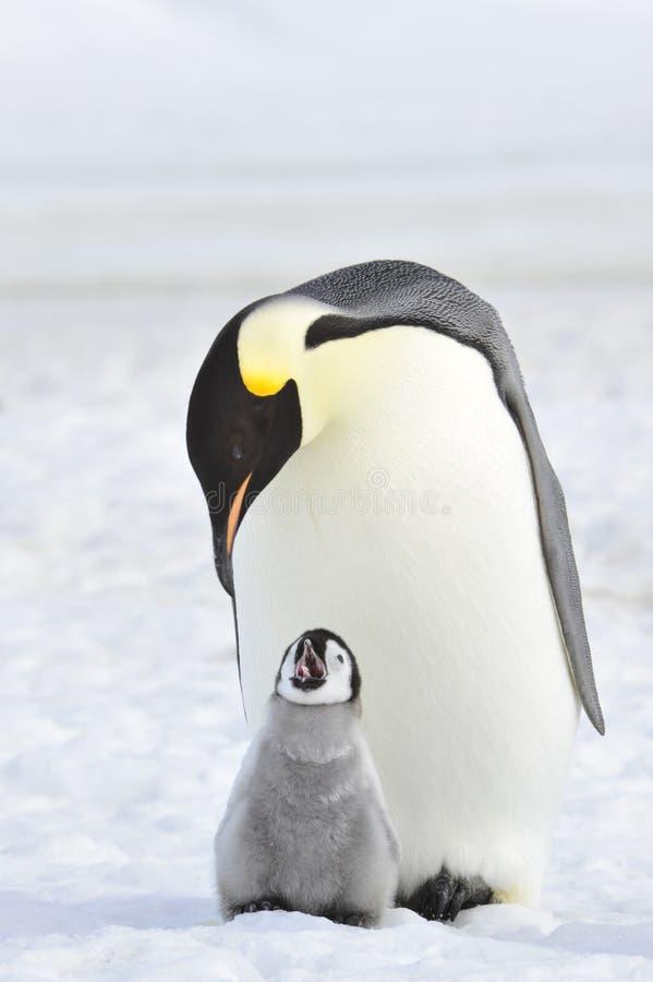 Pinguim de imperador imagem de stock royalty free