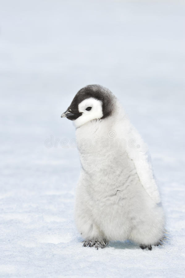 Pinguim de imperador fotografia de stock royalty free