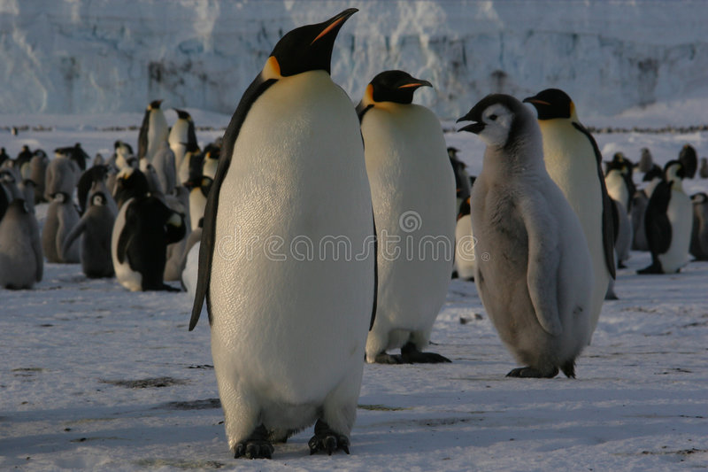 Download Pinguim de imperador imagem de stock. Imagem de neve, se - 535023