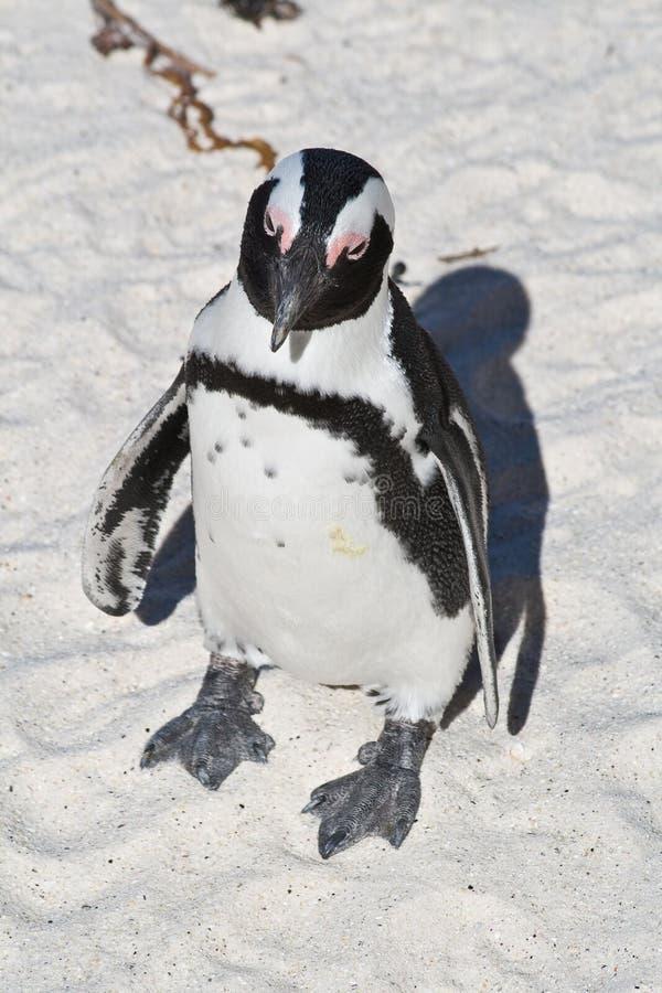Pinguim de Jackass foto de stock