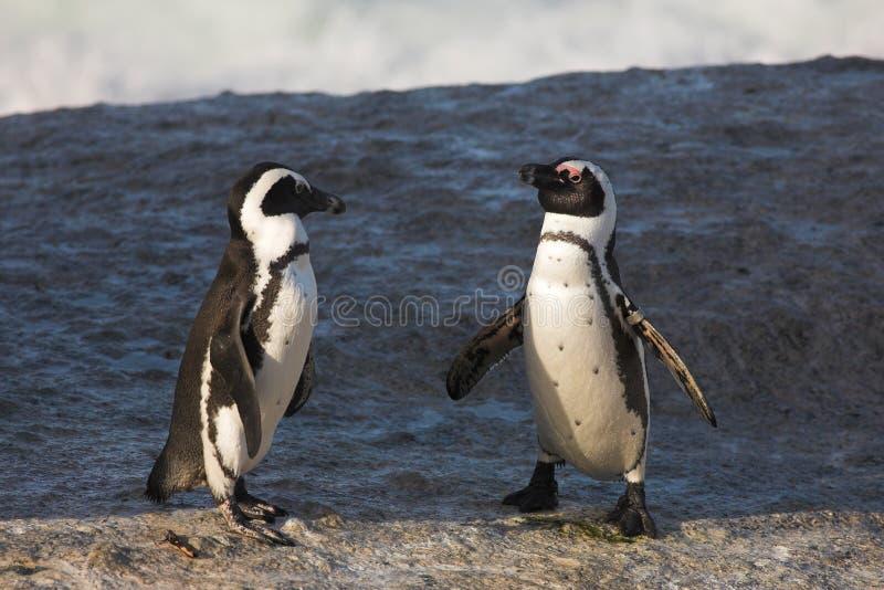 Pinguim de Jackass #36 fotografia de stock