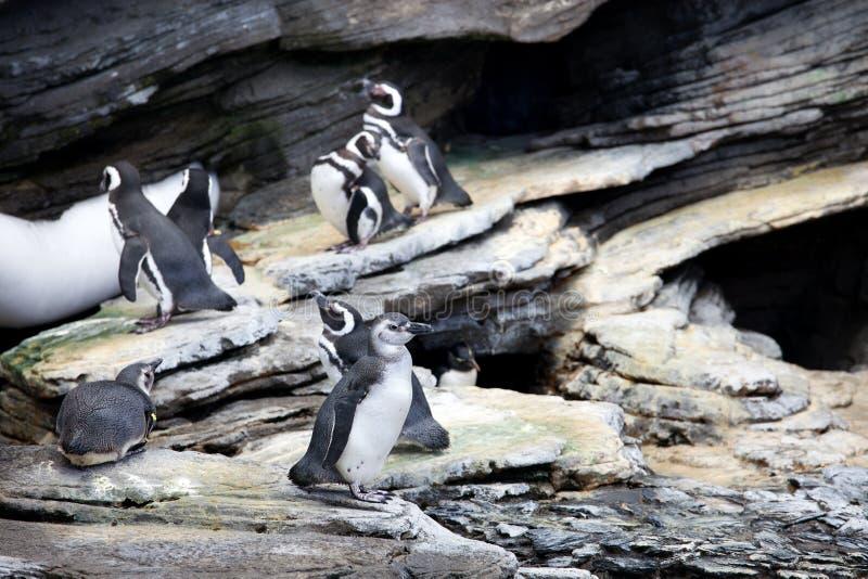 Pinguim de Magellanic imagem de stock
