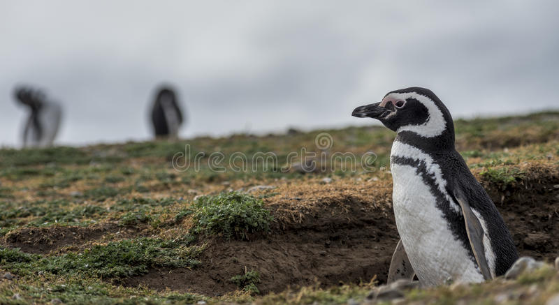 Pinguim de Magellanic, Magdalena Island, o Chile fotos de stock