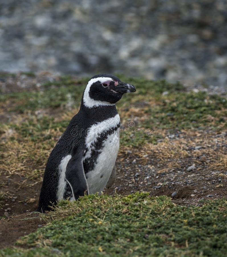 Pinguim de Magellanic, Magdalena Island, o Chile fotografia de stock royalty free