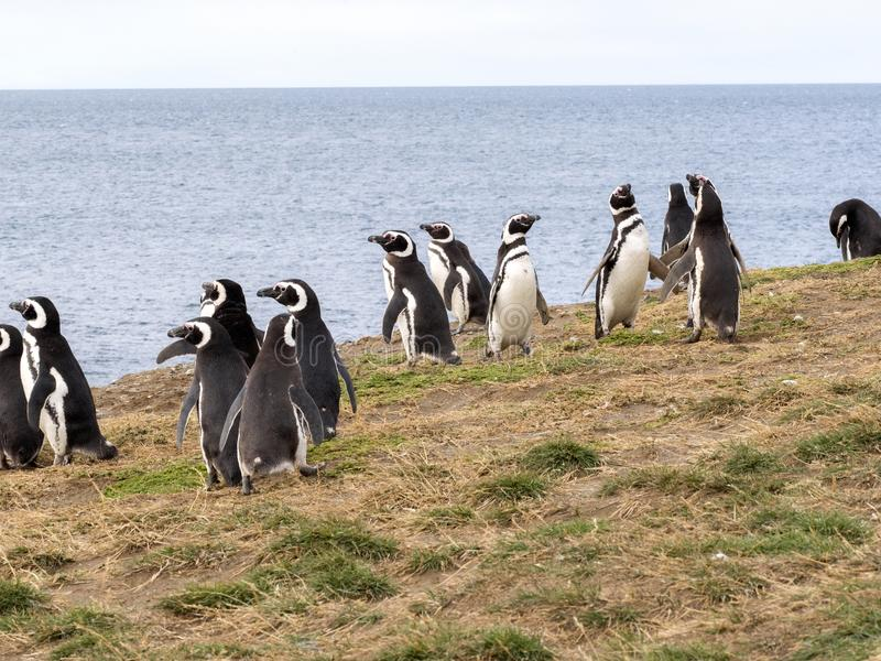 Pinguim de Magellanic, magellanicus do Spheniscus, aninhando-se em Isla Magdalena, Patagonia, o Chile imagens de stock royalty free