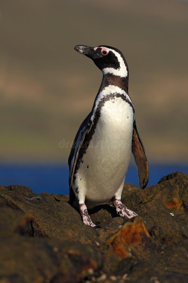 Pinguim de Magellanic, magellanicus do Spheniscus, pássaro na praia da rocha, onda de oceano no fundo, Falkland Islands foto de stock royalty free
