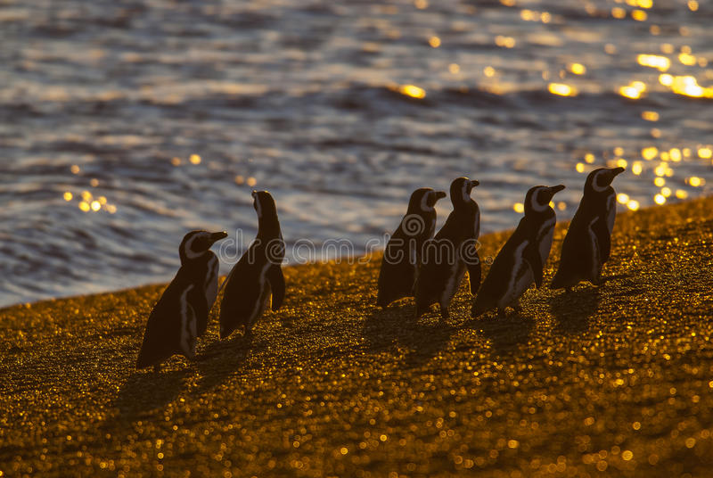 Pinguim de Magellanic, Patagonia, Argentina fotografia de stock