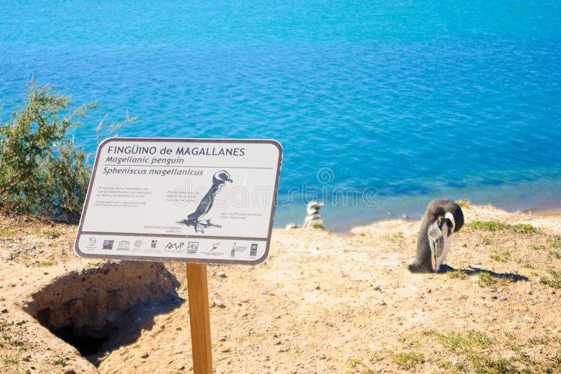 Pinguim de Magellanic, Valdes fotografia de stock royalty free