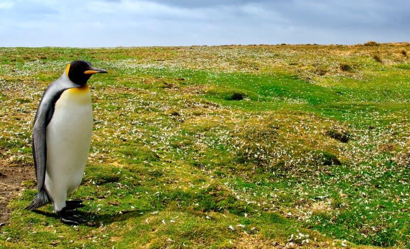 Pinguim de passeio fotografia de stock