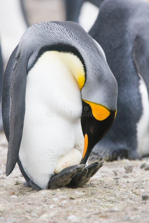 Pinguim de rei com ovo novo foto de stock