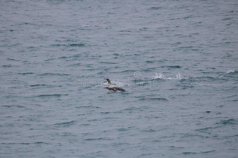 Pinguim de rei da natação fotografia de stock royalty free