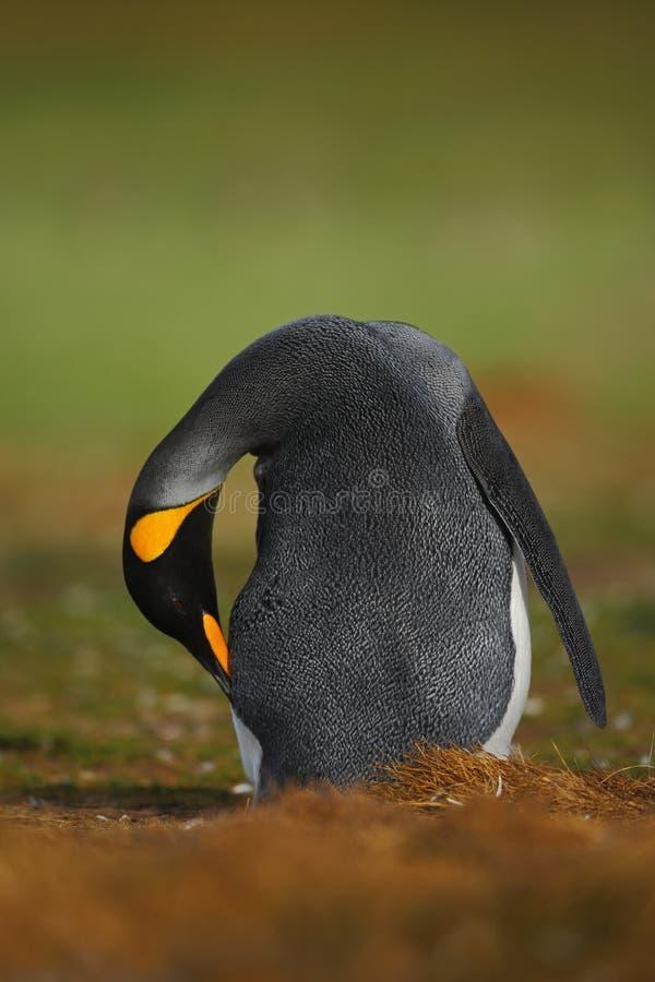 Pinguim de rei grande foto de stock royalty free