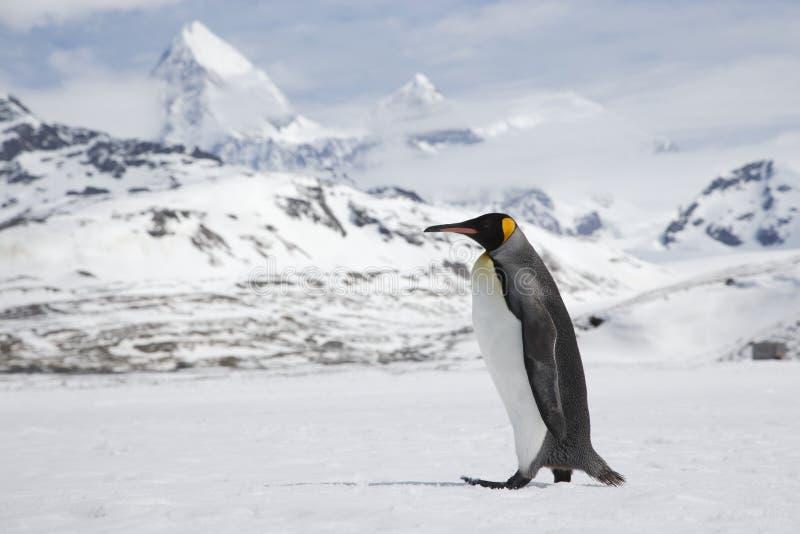 Pinguim de rei na neve fresca em Georgia Island sul imagens de stock
