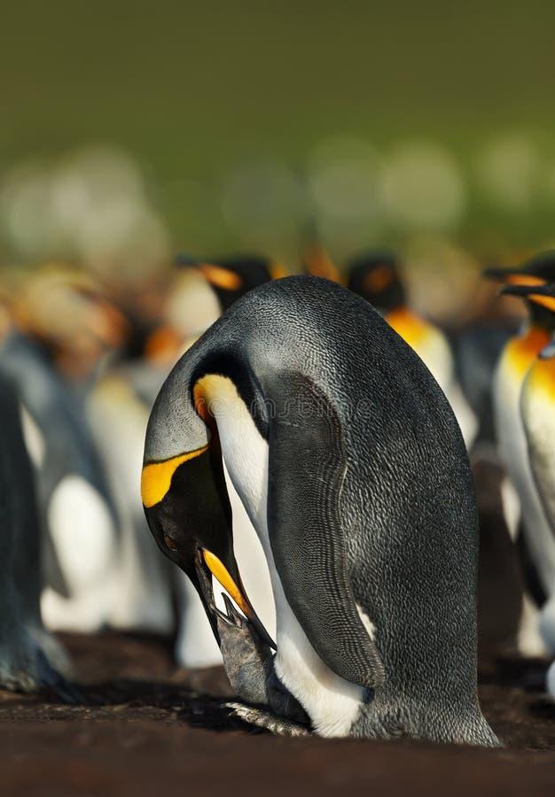 Pinguim de rei que alimenta um pintainho imagem de stock