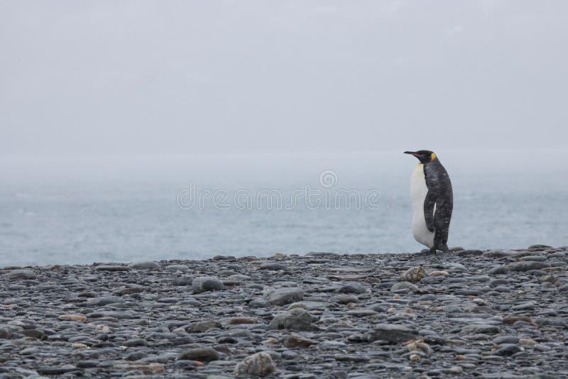 Pinguim de rei só imagens de stock royalty free