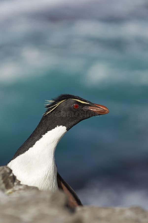 Pinguim de Rockhopper fotografia de stock