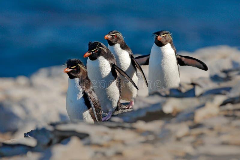Pinguim de Rockhopper, chrysocome do Eudyptes, com obscuridade borrada - mar azul no fundo, mar Lion Island, Falkland Islands Ani imagens de stock royalty free