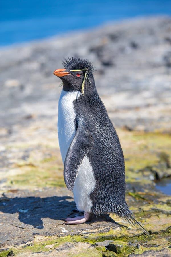 Pinguim de Rockhopper (chrysocome do Eudyptes) em rochas imagem de stock