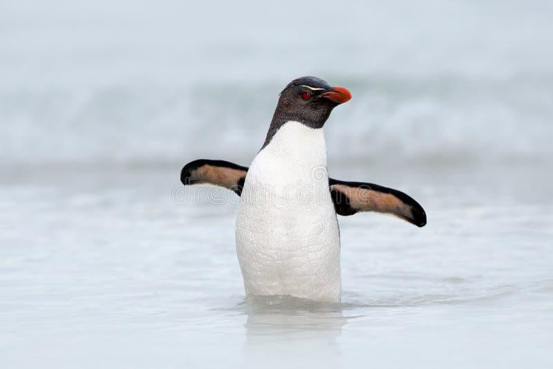 Pinguim de Rockhopper, chrysocome do Eudyptes, nadando na onda do mar, através do oceano com asas abertas, Falkland Island imagens de stock royalty free