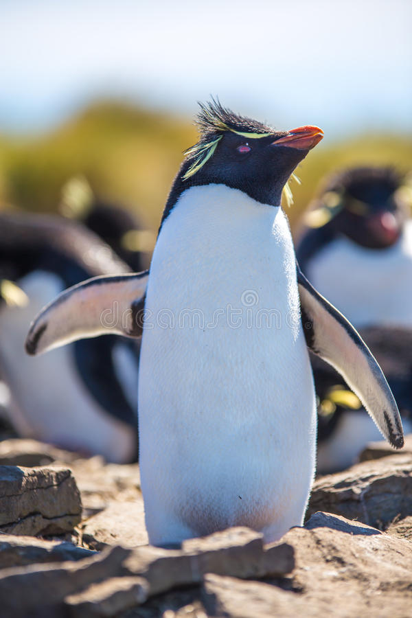 Pinguim de Rockhopper com o retrato prolongado das asas imagem de stock