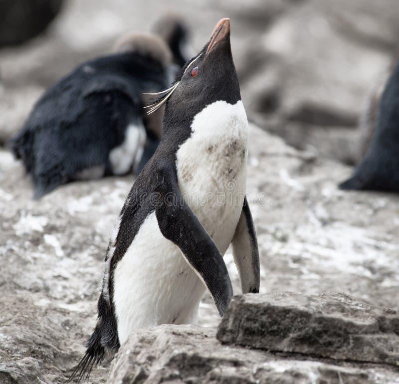 Pinguim de Rockhopper em Falkland Islands fotografia de stock