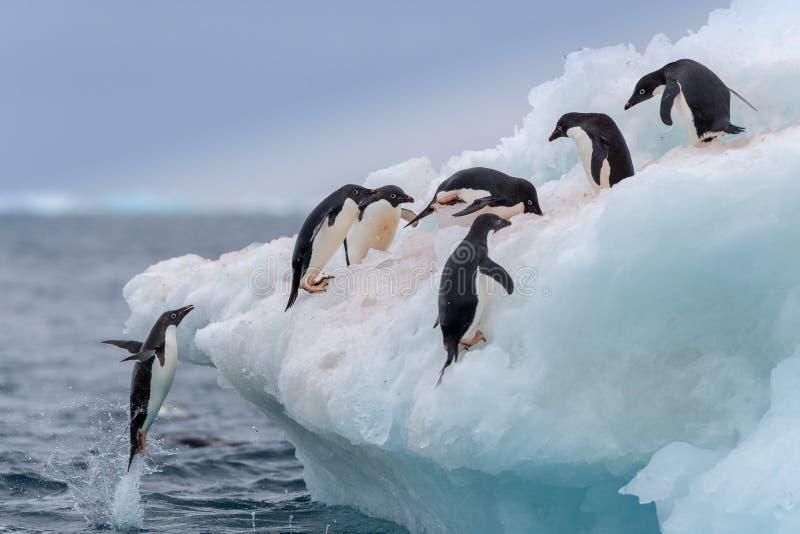 Pinguim de salto Um Adelie & um x28; Adélie& x29; o pinguim salta sobre a um iceberg fotografia de stock royalty free