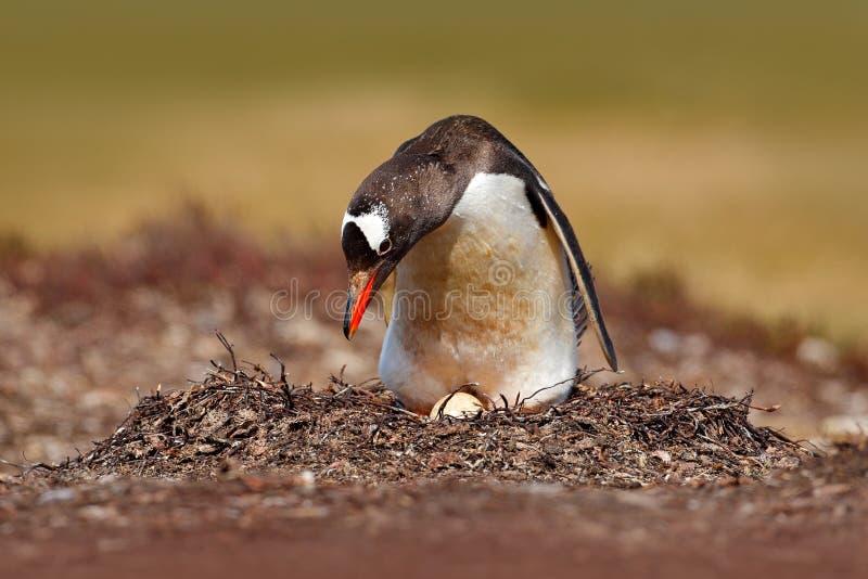 Pinguim do assentamento no prado Pinguim nos ovos da sagacidade dois do ninho, Falkland Islands de Gentoo Comportamento animal, p fotos de stock royalty free
