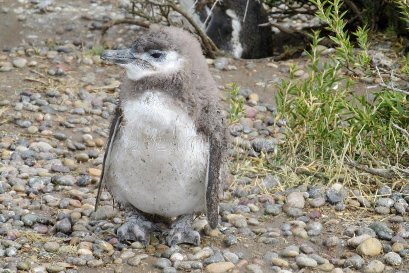 Pinguim do bebê imagens de stock