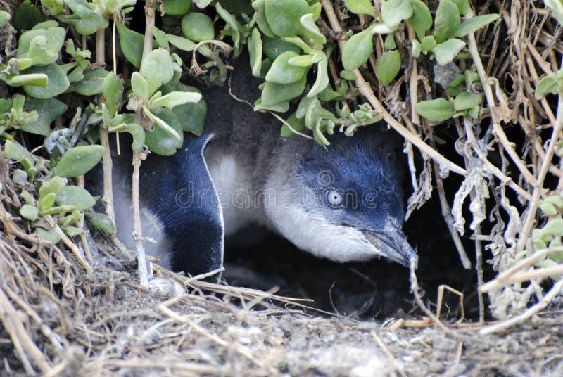 Pinguim do bebê no ninho terrestre em Phillip Island imagens de stock